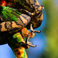 Claws tensed as life ebbs away.  Carpet python, morelia spilota vs Rainbow lorikeet, trichoglossus heamatodus.