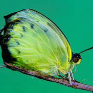 Lemon migrant butterfly, catopsilia pyranthe, 15 minutes emerged from its pupal stage.