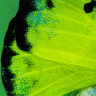 Close up wing of a lemon migrant butterfly, catopsilia pyranthe.