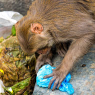 Inquisitive monkey scavenging for food scraps at the cremation site by the Bagmati River.