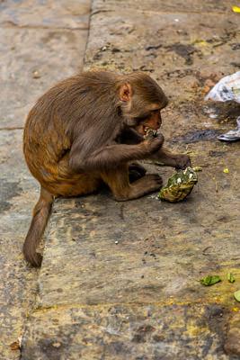 Thumbnail image ofMonkey finishes a banana leaf wrapped take away...