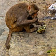 Monkey finishes a banana leaf wrapped take away at the cremation site by the Bagmati River.