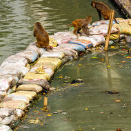 Monkeys on the Bagmati River at the site of cremations at the Pashupati temple.