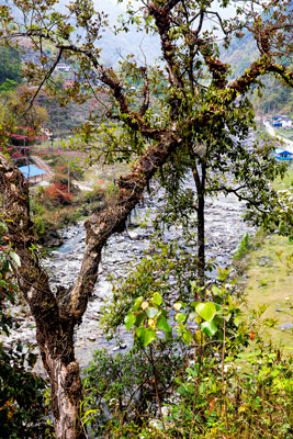 Thumbnail image of Moss covered tree beside Bhurungdi Khola.