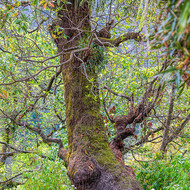 Gnarled and moss covered tree has been cropped of leaves for cattle fodder.