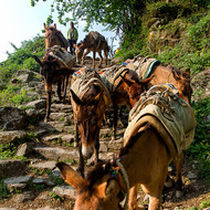Give way to horse traffic, an almost constant stream of packhorses heading unladen down the trail in the morning.