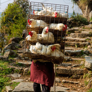 Chickens being transported up the trail.