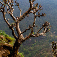 Tree cropped for cattle fodder stands on the steep mountain slope.