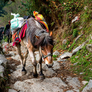 Packhorse makes its way up the trail, no doubt a journey it has made often.