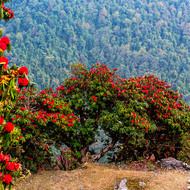 Colorful rhododendron trees on the mountainside.