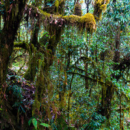 Moss covered trees in an enchanted oak and rhododendron forest.
