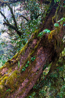 Thumbnail image ofMoss covered tree in the forest.