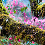 Moss draped branch back dropped by pink rhododendron.