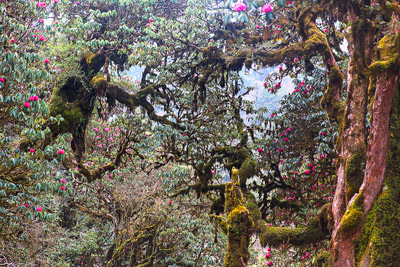 Thumbnail image ofVista of mossy branches and pink rhododendron.