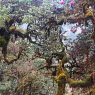 Vista of mossy branches and pink rhododendron.