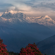Annapurna Range in the sunrise light beyond the pink rhododendron.