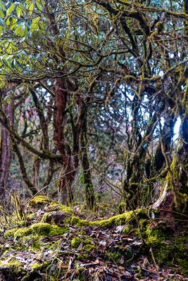 Thumbnail image of Tangled mossy trees beside the trail.