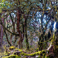 Tangled mossy trees beside the trail.