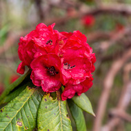 Red rhododendron flower.