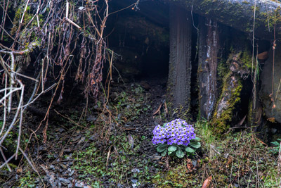 Thumbnail image ofPosy of purple, growing under an overhang.