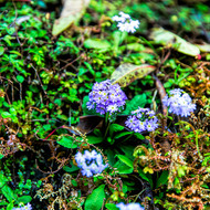 Bright light purple flowers on the forest floor.