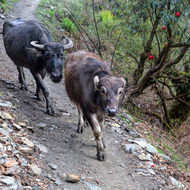 Untroubled mother and wide eyed calf share the trail.