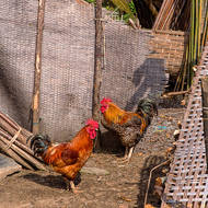 Chickens, woven mat and bamboo.