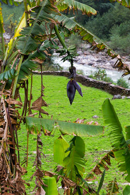 Thumbnail image of Bananas growing beside the river.
