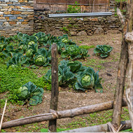 Healthy looking vegetables in a garden of rocky soil.