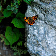 Butterfly at rest, sunning itself on a rock.