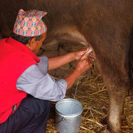 His aim is very good: milking time for a water buffalo.
