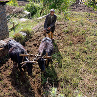 Farmer ploughing his field using water buffalo.