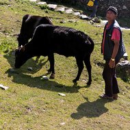 Farmer tending to his cattle.
