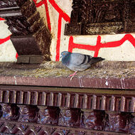 Pigeons and other material add decoration to Taal Barahi temple.