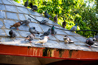 Thumbnail image ofPigeons galore on the roof of a building at Taal...