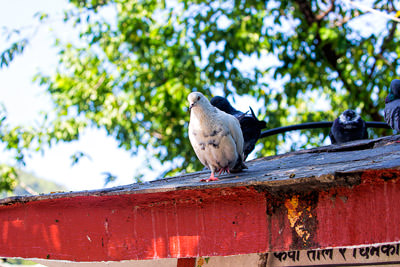 Thumbnail image ofPut your foot down, pigeon on the roof of a building...