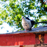 Put your foot down, pigeon on the roof of a building at Taal Barahi temple.
