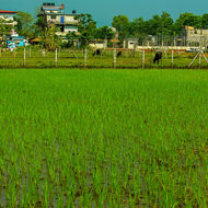 Across the rice paddy to cattle and houses.