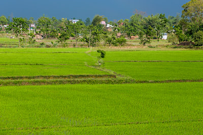 Thumbnail image ofStorm blowing up over the rice fields.