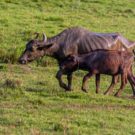 Water buffalo, mother and child returning from a swim.