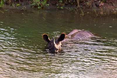 Thumbnail image ofRhinoceros out for a late afternoon river swim.