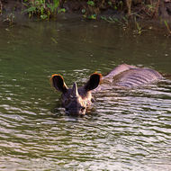 Rhinoceros out for a late afternoon river swim.