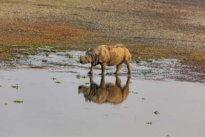 Thumbnail image ofRhinoceros enters the river late in the day.