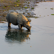 Rhinoceros enjoys a drink.