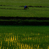 Farmer planting rice at sunrise.
