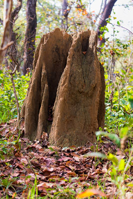Thumbnail image ofAnthill in the forest.