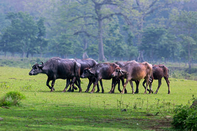 Thumbnail image of Water buffalo walking in tight formation.