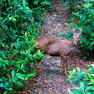 Deer, ears alert, crosses a forest trail.