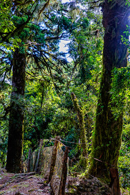 Thumbnail image ofFence in a mossy gondwana land forest.