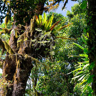 Tree ferns and moss in a gondwana land forest.